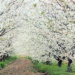 Cerezo en Flor 2015