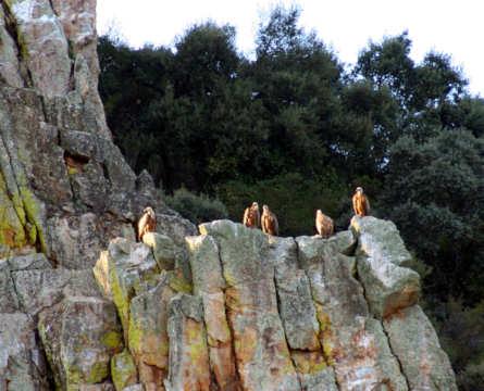 Buitres en Monfragüe
