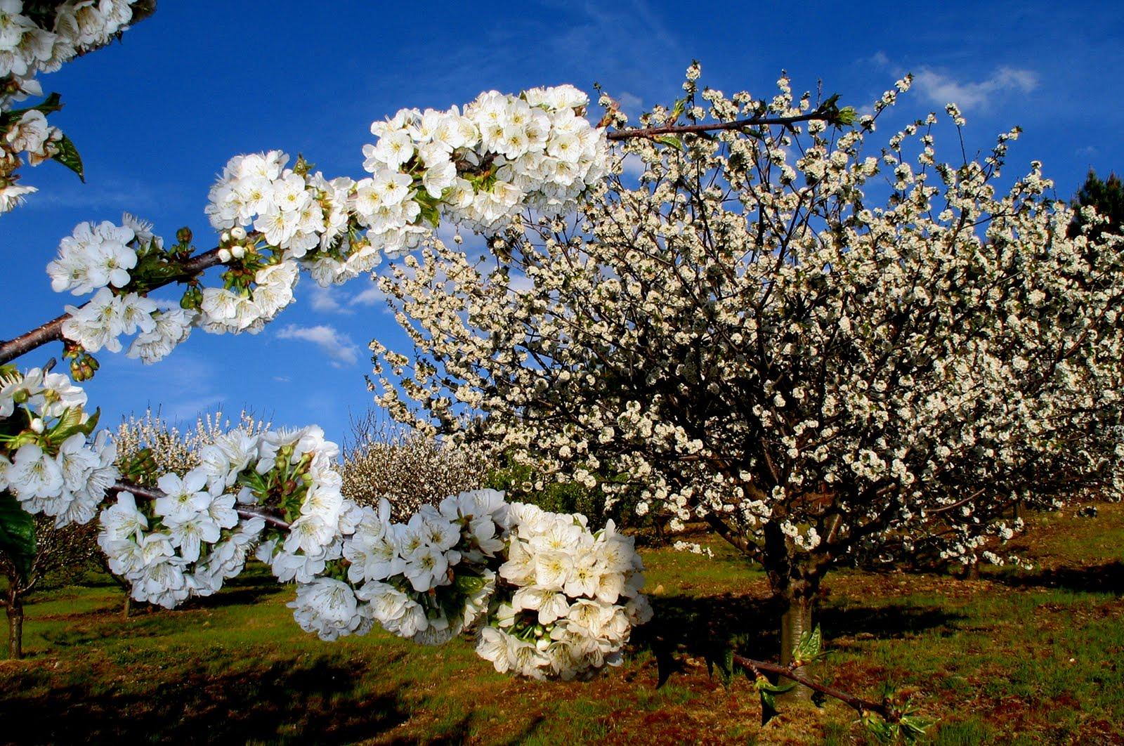 Cerezos - Valle del Jerte