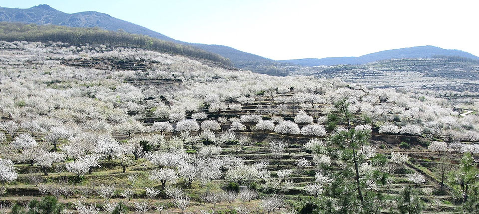 Paisaje Cerezo en Flor - Valle del Jerte